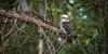 Kookaburra - L'oiseau rieur